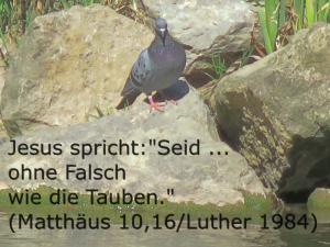ohne Falsch w. d. Tauben