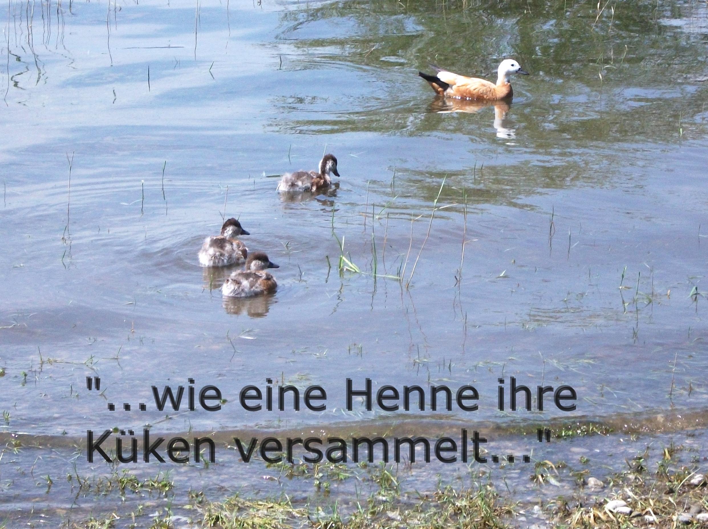 henne und junge - Wie eine Henne und ihre Jungen