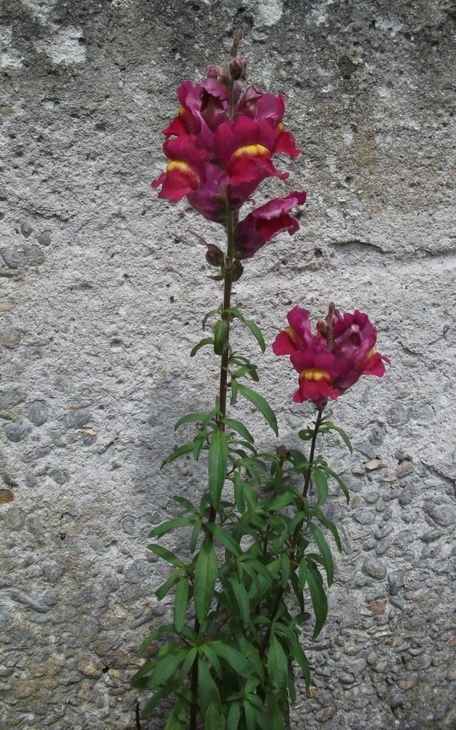 Diese Blume steht mit dem Rücken zur Wand, Dennoch konnte sie wachsen, gedeihen und blühen.